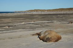 Male Elephant Seal - Falkland Islands stock photo