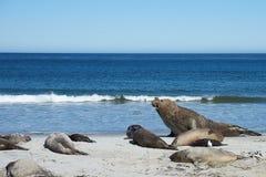 Male Elephant Seal - Falkland Islands Royalty Free Stock Image