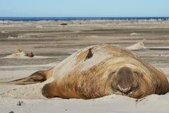 Male Elephant Seal - Falkland Islands Royalty Free Stock Photos