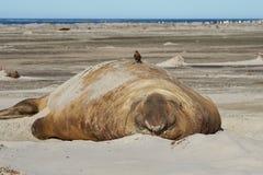 Male Elephant Seal - Falkland Islands Stock Images