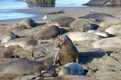 Male elephant seal getting ready to try and mate with a female Stock Photography