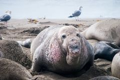 Male Northern Elephant Seal. Male Elephant Seal with his harem of females Stock Photography
