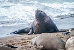 Male Northern Elephant Seal. Male Elephant Seal with his harem of females in San Simeon, California Stock Images