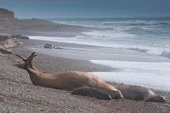 Male Elephant Seal in Patagonia Stock Photos