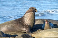Male elephant seal vocalizing wth female, ocean waves in background. Male elephant seal laying on a beach, vocalizing. Elephant seals take their name from the Royalty Free Stock Photo