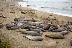 Male Elephant Seals at the beach near San Simeon Royalty Free Stock Image