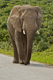 Male elephant on a tar road. Large male elephant walking on a tar road in a reserve Royalty Free Stock Photography