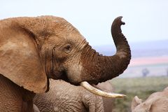 Male elephant with trunk up. This male elephant holding his trunk up Stock Photo