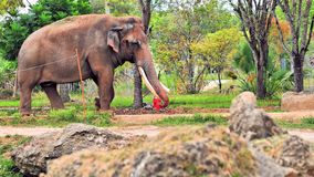 Male elephant walking Royalty Free Stock Images