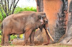 Male elephant walking in zoo Royalty Free Stock Photo