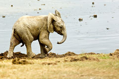 Male elephant at a water hole Stock Image