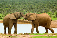 Male elephants Stock Image