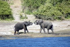 Elephants greeting. Male elephants greeting in Chobe National Park Botswana, magnificant animal. the way male elephants greet Stock Images
