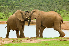Male elephants sparing Royalty Free Stock Photography