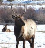 Male Elk Stock Photos