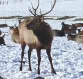 Male Elk Royalty Free Stock Photo