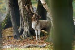 Male elk. A male elk in Autumn royalty free stock image