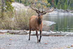 Male Elk. With Antlers Walking Near Edge of Lake stock photography