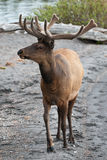 Male Elk Royalty Free Stock Photos