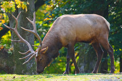 Male Elk. Standing adult male elk with large antlers in forest setting at Woodland Park Zoo stock photos
