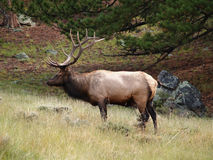 Male Elk Stock Image