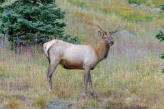 Male elk in autumn. Rocky Mountain elk in autumn Royalty Free Stock Image