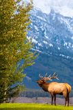 Male elk bugling for his girls in Grand Teton National Park. This male bull elk is bugling to gather his harem in Grand Teton National Park in Autumn during stock photography