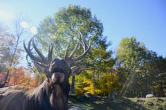 Male Elk calling. For female companionship stock images