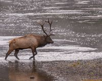 Male elk completes river crossing royalty free stock images