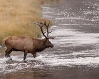 Male elk crosses river. A male elk with a nice set of antlers crosses a river in Yellowstone National Park stock image