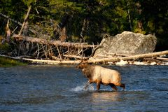 Male Elk crossing a river. Male Elk crossing the Madison River, Yellowstone National Park stock image