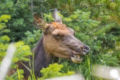 Female Elk. Male Elk feeding in vegetation at Yellowstone National Park royalty free stock photography