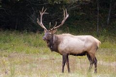 Male Elk in the Field. Male Elk with Antlers in Field of Grass royalty free stock photos
