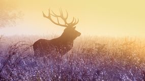 Male elk in field at sunset