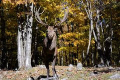 Male Elk. Full bodied shot of a male Elk on a natural setting stock photos