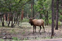 A male elk. Male elk at grand canyon national park royalty free stock photos