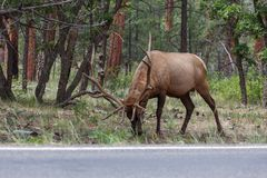 A male elk. Male elk at grand canyon national park royalty free stock photo