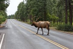 A male elk. Male elk at grand canyon national park stock photo