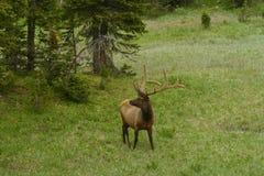 Male Elk Grazing in a Field Stock Image