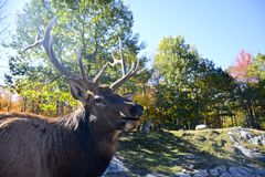 Male Elk. Head of male Elk with natural setting in the background royalty free stock photos