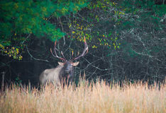 Male elk with huge antlers, stands on edge of meadow. In fall during mating rut royalty free stock images