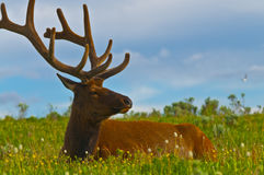 Male elk with large antlers Stock Photos