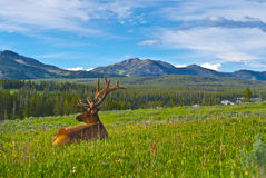 Male elk with large antlers. Beautiful Majestic Wild Male Elk in Yellowstone National Park stock photo