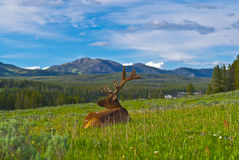 Male elk with large antlers. Beautiful Majestic Wild Male Elk in Yellowstone National Park stock photography