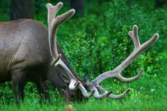 Male Elk with Large Antlers Stock Image