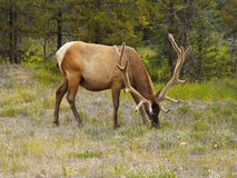 Male Elk with Large Antlers Royalty Free Stock Photography