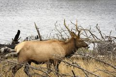 Male Elk looking for family by Lake Yellowstone at Yellowstone National Park royalty free stock photo