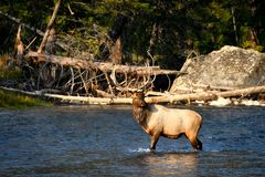 Male Elk in Madison River. A male elk crossing the Madison River, in Yellowstone National Park royalty free stock photo