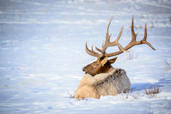 Male Elk, National Elk Refuge Royalty Free Stock Photos