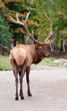 Male Elk on the Road. This is a male elk on the road looking back at the camera royalty free stock photos